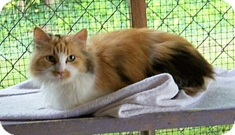 Domestic Longhair Cat for adoption in Dover, Ohio - Duchess