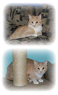 Domestic Shorthair Cat for adoption in Balto, Maryland - Darius