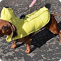 Adopt A Pet :: Barney - Westfield, IN