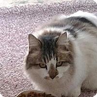 Adopt A Pet :: Patches - Chandler, AZ