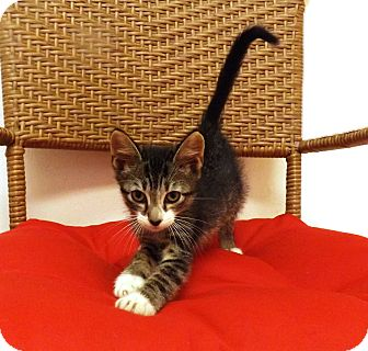 Domestic Shorthair Kitten for adoption in Gainesville, Florida - Sunday