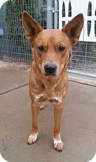 Cattle Dog Mix Dog for adoption in Vancouver, British Columbia - Heidi
