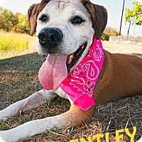 Hound (Unknown Type)/Labrador Retriever Mix Dog for adoption in Converse, Texas - Bentley