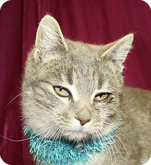 Domestic Shorthair Cat for adoption in Jackson, Michigan - Spencer