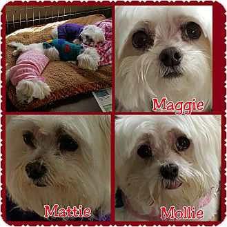 Maltese Dog for adoption in Hurst, Texas - Mattie, Mollie And Maggie