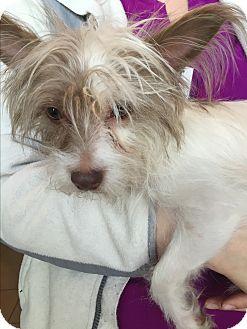 Papillon/Silky Terrier Mix Dog for adoption in HARRISBURG, Pennsylvania - GIZELLE