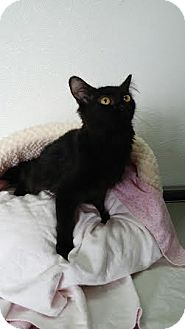 Domestic Mediumhair Cat for adoption in China, Michigan - Rose
