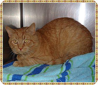 Domestic Shorthair Cat for adoption in Marietta, Georgia - MYDUZ (R)