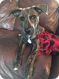 Plott Hound/Black Mouth Cur Mix Puppy for adoption in Fort Atkinson, Wisconsin - Margot