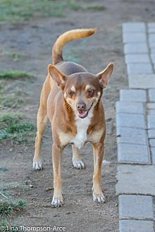Miniature Pinscher Mix Dog for adoption in Anaheim, California - Skeeter