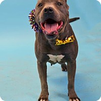 Pit Bull Terrier Mix Dog for adoption in Visalia, California - Jackie