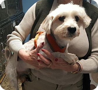 Maltese/Yorkie, Yorkshire Terrier Mix Dog for adoption in Freeport, New York - Richie