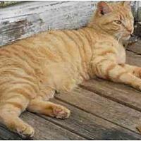 American Shorthair Cat for adoption in Madisonville, Louisiana - Solomon