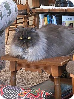 Himalayan Cat for adoption in El Granada, California - Dharma