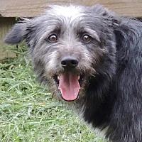 Adopt A Pet :: Archer - Joplin, MO