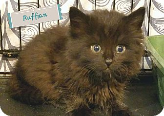 Domestic Mediumhair Kitten for adoption in Trevose, Pennsylvania - Ruffian