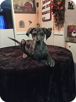 Blue Heeler/Catahoula Leopard Dog Mix Puppy for adoption in Kittery, Maine - Merle