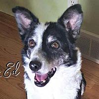 Adopt A Pet :: Mr. Ed - Joliet, IL