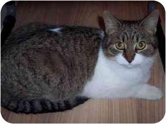 Domestic Shorthair Cat for adoption in Medina, Ohio - Spice