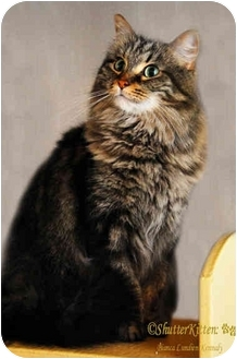 Maine Coon Cat for adoption in San Diego, California - Cosette