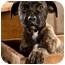 Photo 1 - Mastiff/Pit Bull Terrier Mix Puppy for adoption in Portland, Oregon - Zander