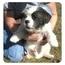 Photo 3 - French Bulldog/Shih Tzu Mix Dog for adoption in North Kingstown, Rhode Island - WINSTON