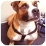 Photo 1 - Staffordshire Bull Terrier/American Staffordshire Terrier Mix Dog for adoption in New York, New York - Romeo