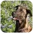 "Photo 1 - Dutch Shepherd Dog for adoption in Jamestown, California - ""Sinatra"" In Central Texas"