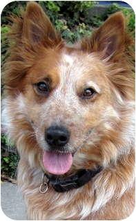 Australian Cattle Dog Dog for adoption in Los Angeles, California - Rusty
