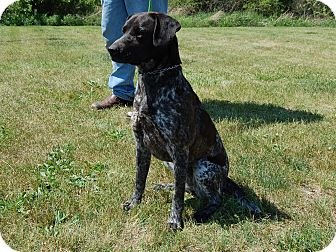 German Shorthaired Pointer Mix Dog for adoption in North Judson, Indiana - Dandelion