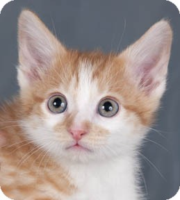 Domestic Shorthair Kitten for adoption in Chicago, Illinois - Tommy