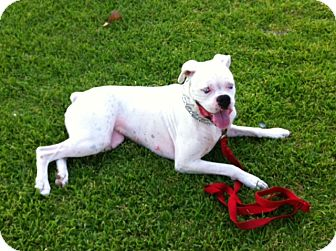 Boxer Dog for adoption in Santa Monica, California - Bailey