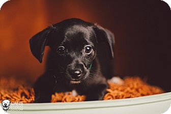 Schnauzer (Miniature)/Chihuahua Mix Puppy for adoption in Portland, Oregon - Milo