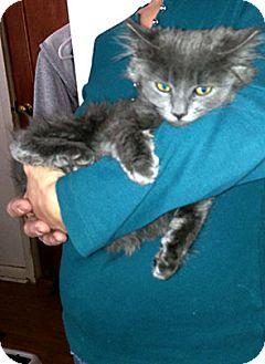 Domestic Mediumhair Kitten for adoption in Patterson, New York - Smokey