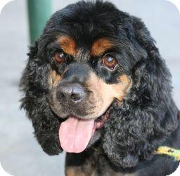 Cocker Spaniel Dog for adoption in Canoga Park, California - Bootsy