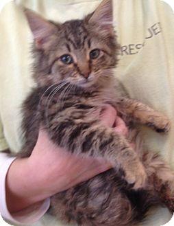 Maine Coon Kitten for adoption in Palatine, Illinois - Kelly