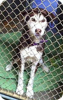 Husky Mix Dog for adoption in Medora, Indiana - Simba