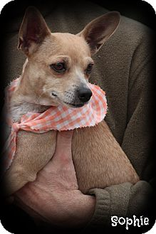 Chihuahua Dog for adoption in Glastonbury, Connecticut - Sophie