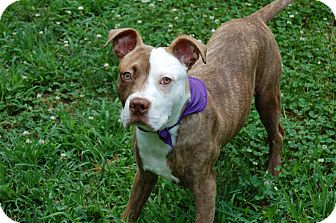 Pit Bull Terrier Mix Puppy for adoption in Charlotte, North Carolina - Forrest