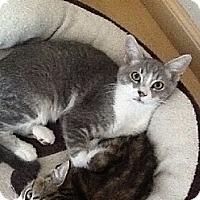 Domestic Shorthair Kitten for adoption in Burbank, California - Russell