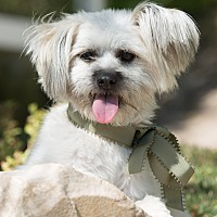 Skye Terrier/Terrier (Unknown Type, Small) Mix Dog for adoption in Sherman Oaks, California - Gizmo