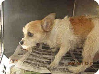 Terrier (Unknown Type, Small)/Chihuahua Mix Dog for adoption in Simi Valley, California - Molly girl