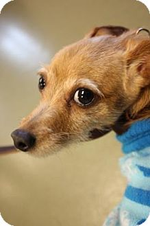 Chihuahua/Terrier (Unknown Type, Small) Mix Dog for adoption in Harrisonburg, Virginia - Jackson