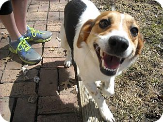 Beagle Dog for adoption in Mentor, Ohio - KITTY**21 lbs & 1-2 yrs old!!