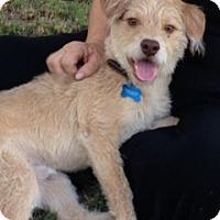 Adopt A Pet :: Chester - Phoenix, AZ