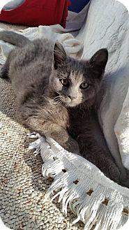 Domestic Mediumhair Kitten for adoption in Fairborn, Ohio - Violet