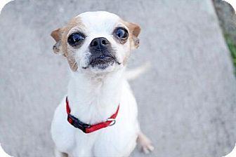 Chihuahua/Boston Terrier Mix Dog for adoption in Austin, Texas - Luka