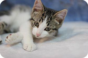 Domestic Shorthair Kitten for adoption in Midland, Michigan - Matteo