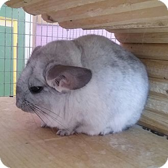 Chinchilla for adoption in Granby, Connecticut - Aster