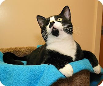 Domestic Shorthair Cat for adoption in Milford, Massachusetts - Larry